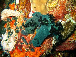 A pair of Nembrotha milleri mating at The Drop Off divesite, Verde Island, Puerto Galera, The Philippines