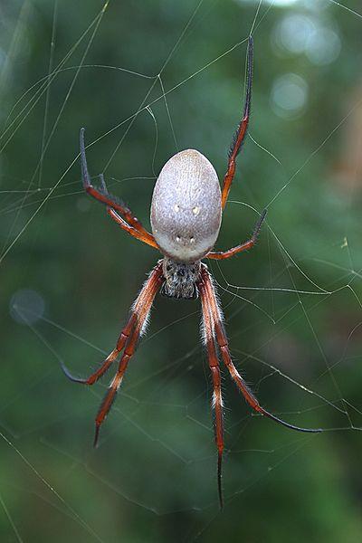 Golden silk orb weaving spider (Nephila edulis)