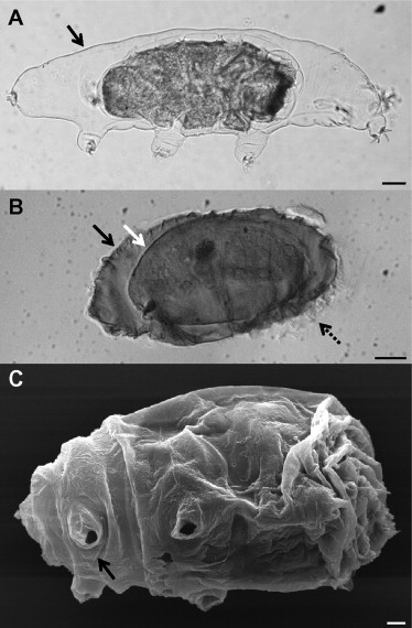 Tardigrade cysts, indicating the sarcophagus and the mummy within  Fig. 1 from Guidetti et al. (2011)