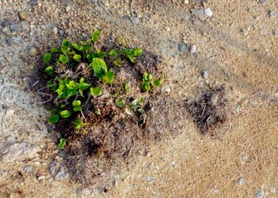 A mini-garden growing out of elephant dung Credit Marc Fourrier