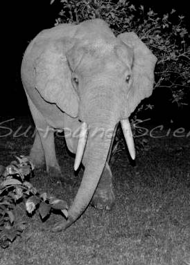 Forest elephant Credit Marc Fourrier
