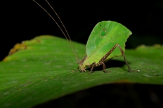 Leaf mimic katydid Photo credt: Geoff Gallice, Fotopedia available under a Creative Commons License