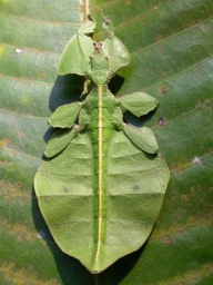 Leaf mimic2