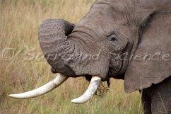 Savannah elephant in the MasaiMara Credit Jason Robertson