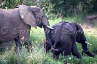 Savannah elephants at the Murchison Falls National Park, Uganda Credit Jason Robertson