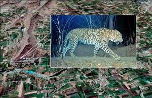 Panthera pardus Photo by