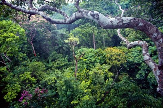 Batterman Panamanian Forests