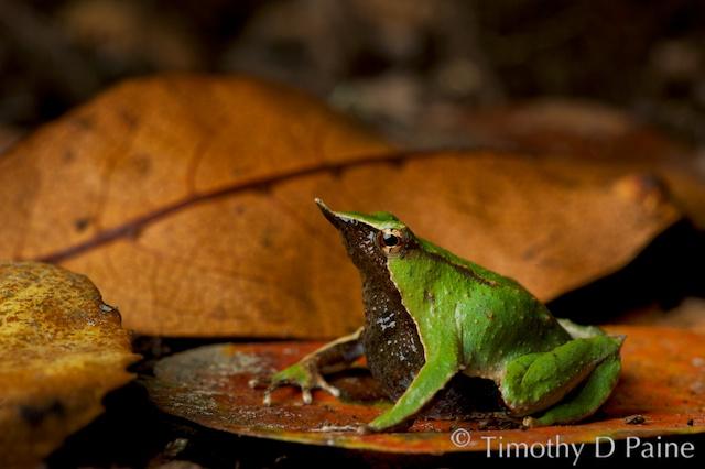 Rhinoderma darwinii, Darwin's frog, a classic example of neomalia. Photo credit Timothy Paine of amphibios.org